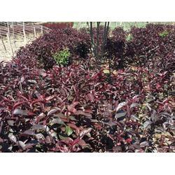 新疆紫葉矮櫻銷售-臨洮縣飛達花木專業供應西北紫葉矮櫻圖片