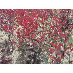 新疆紫葉矮櫻-想要選購西北紫葉矮櫻就來臨洮縣飛達花木圖片