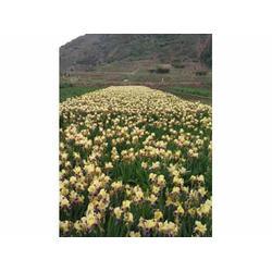 甘肃鸢尾种植基地-临洮县飞达花木西北鸢尾价钱怎么样图片