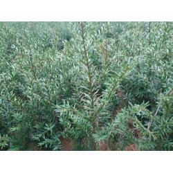 吉林红豆杉苗 易成活的红豆杉出售