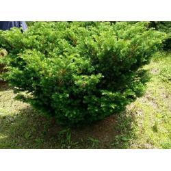 抚顺红豆杉-在哪能买到品质好的红豆杉图片