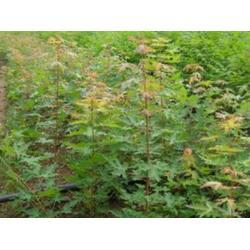 吉林五角枫-品种好的五角枫上哪买图片