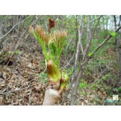鞍山刺嫩芽-想要成活率高的刺嫩芽就来桓仁刘家苗圃图片