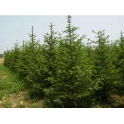 丹東云杉-想要成活率高的云杉就來桓仁劉家苗圃圖片
