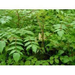抚顺刺嫩芽-成活率高的刺嫩芽推荐图片