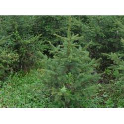 通化云杉-想要無病蟲害的云杉就來桓仁劉家苗圃圖片