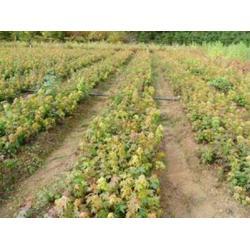 鞍山九角枫-想要品种好的九角枫就来桓仁刘家苗圃图片