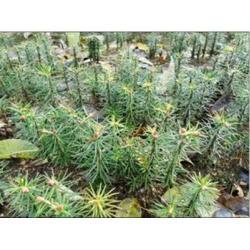 冷杉树苗-供应辽宁易种植的冷杉图片