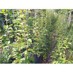 抚顺软枣苗供应-品种好的软枣苗推荐图片