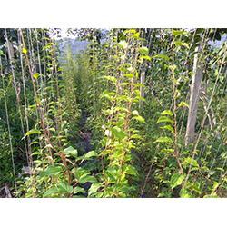 软枣苗-想要品种好的软枣苗就来宽甸蓝岳软枣猕猴桃图片