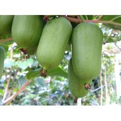 沈阳软枣猕猴桃-哪里能买到成活率高的软枣猕猴桃图片