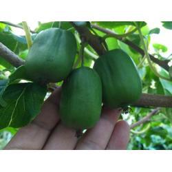 软枣猕猴桃苗种植-优良的软枣猕猴桃苗出售图片