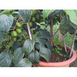 圆枣苗-想要好的圆枣苗就来宽甸蓝岳软枣猕猴桃