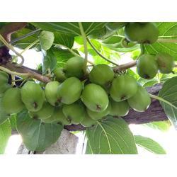 圆枣子苗-供应辽宁销量佳的圆枣子图片