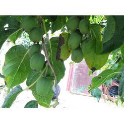 软枣猕猴桃苗种植-软枣猕猴桃苗量大从优图片