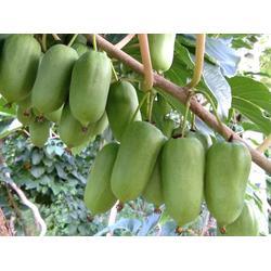 抚顺圆枣子苗-想要优良的圆枣子就来宽甸蓝岳软枣猕猴桃图片