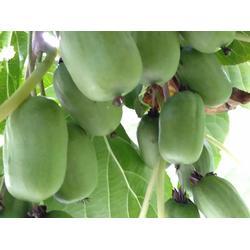 沈阳软枣猕猴桃苗哪家好-专业供应软枣猕猴桃苗