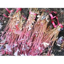 美国红枫哪里有-想要实惠的美国红枫就来铁岭精诚苗木图片