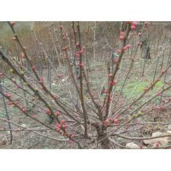 白城黑果腺肋花楸-北美冬青找鐵嶺精誠苗木-品種優良圖片