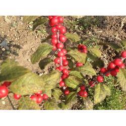 鸡西北美冬青苗-供应辽宁实惠的北美冬青图片
