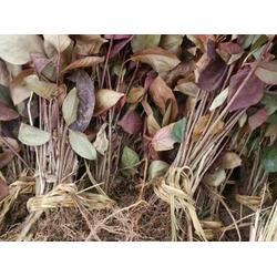 丹东黑果腺肋花楸-辽宁优良北美冬青图片