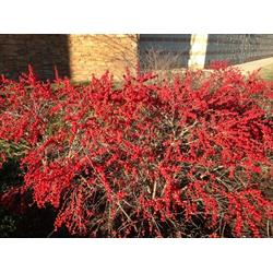 牡丹江北美冬青树苗-划算的北美冬青出售图片