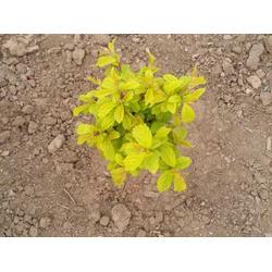 辽宁黑果腺肋花楸-想要品质好的北美冬青就来铁岭精诚苗木图片