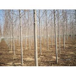 朝陽美國紅楓公司-美國紅楓當選鐵嶺精誠苗木圖片