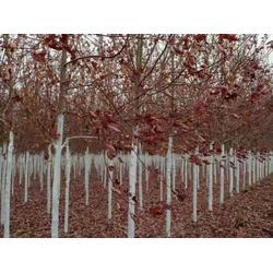 葫蘆島  吉林美國紅楓-供應品種好的美國紅楓圖片