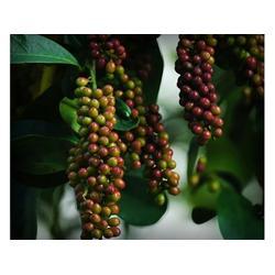 五味子果作用-专业的五味子果推荐图片