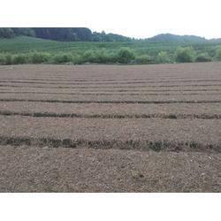 阳泉五味子种苗基地-五味子种植基地在哪买