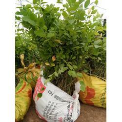 蓝莓苗,出售营养钵3-7年生蓝莓苗量大从优图片