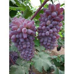 着色香葡萄苗 种植前景,出售嫁接着色香葡萄苗8万株图片