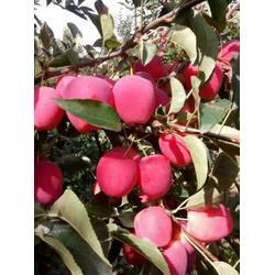 鸡心果苗 出售鸡心果树苗 锦绣海棠 塞外红苹果苗图片