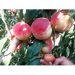 桃厂家直销-桃子哪里有卖的图片