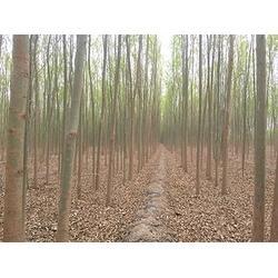 竹柳廠家推廣-山西哪里有出售竹柳圖片