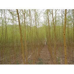 扬州竹柳-供应山西实惠的竹柳图片