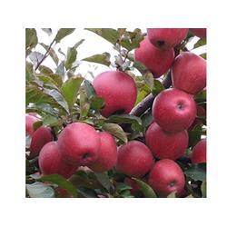 天津苹果-销量好的苹果出售图片