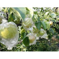 玉露香梨-華隆種養-玉露香梨品種優異圖片