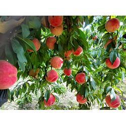 桃厂家推广-华隆种养专业供应桃子图片