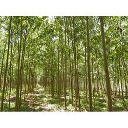 上海竹柳优惠-哪里能买到划算的竹柳图片