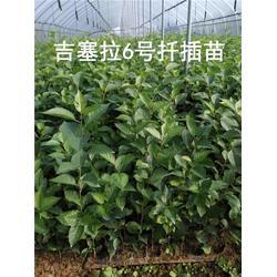 沧州吉塞拉12号组培苗-泰安泰丰源园艺场图片
