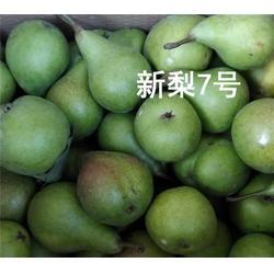 红梨树苗-泰安泰丰源农场(在线咨询)北京梨树苗批发