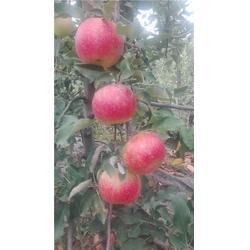 红将军苹果苗-泰安泰丰源农场-广东苹果苗图片