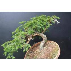 宝鸡黑格斯曼地亚盆栽造型-想买优惠的红豆杉盆景,就到陕西天行健生物图片