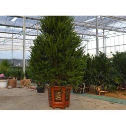 宝鸡红豆杉盆景如何养护-为您推荐销量好的红豆杉盆景