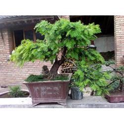 宝鸡红豆杉盆景-想买实惠的红豆杉盆景-就到陕西天行健生物图片