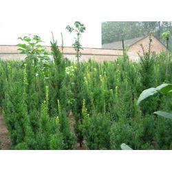 寶雞紅豆杉養植-病蟲害低的紅豆杉出售圖片