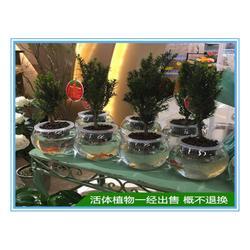 黑格?#36141;?#35910;杉-哪里能买到优良的红豆杉图片