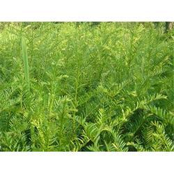 宝鸡曼地亚红豆杉苗-口碑好的红豆杉苗出售图片